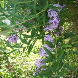 Buddleia alternifolia - 3ltr