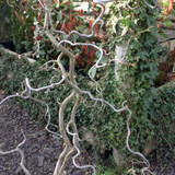 Corylus avellana 'Contorta' (Corkscrew Hazel) - 10ltr