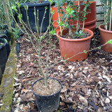 Euonymus 'Red Cascade' - 3ltr