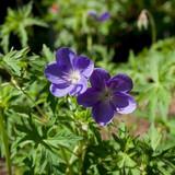 Geranium 'Brookside' - 2ltr
