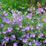 Geranium 'Johnson's Blue' - 2ltr