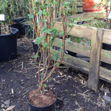 Ribes sanguineum 'King Edward VII' - 3ltr pot