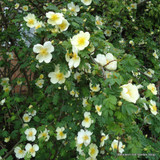 Rose 'Canary Bird' (Shrub Rose) - 3ltr