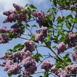 Syringa vulgaris  'Katherine Havemeyer' (Lilac) - 10ltr