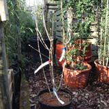 Syringa vulgaris 'Michael Buchner' (Lilac) - 3ltr