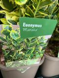 Euonymus 'Marieke' P11