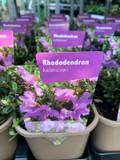 Rhododendron  keleticum- P11