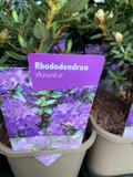 Rhododendron 'Azurika' P11