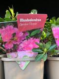 Rhododendron 'Geisha Purple' P11