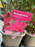 Rhododendron 'Kermesina' P11