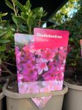 Rhododendron 'Violetta' P11