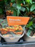 Pyracantha 'Golden Charmer' P11