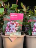 Viburnum tinus 'Gwenllian' P11