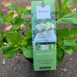 Hydrangea Magical Four Seasons