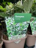 Euonymus albomarginatus 'Kathy' P11