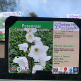 Campanula persicifolia alba 1ltr