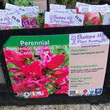 Penstemon barbatus 'Rock Candy Pink' 1ltr