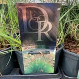 Miscanthus 'Adagio' (Grass)