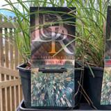 Miscanthus 'Yaku Jima' (Grass)