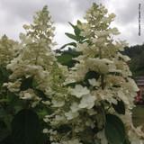 Hydrangea paniculata 'Bobo' - 10ltr