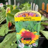 Gaillardia 'Bright Bicolour' 2ltr