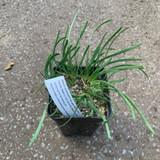 Allium sensescens var. glaucum