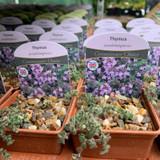 Thymus pseudolanuginosus - 7cm