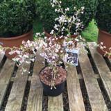 Prunus 'Kojo-no-mai'