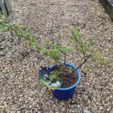 Blueberry 'Northland' - 3ltr