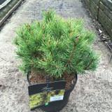 Pinus mugo 'Ophir' - 5ltr