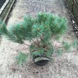 Pinus sylvestris 'Watereri' - 5ltr