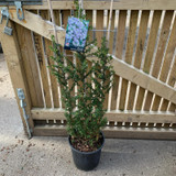 Ceanothus 'Puget Blue' 1.2m trellis