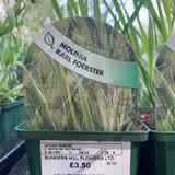 Molinia cae. Karl Foerster (Grass) - 9cm