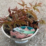 Astilbe japonica 'Europa' 2ltr