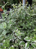 Euonymus 'Emerald Gaiety' - 2ltr pot