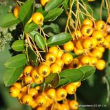 Pyracantha 'Soleil d'Or' (Firethorn) - 2ltr pot