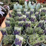 Lavender Hidcote - 13cm pot