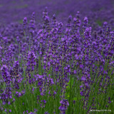 Lavender angustifolia 'Hidcote' - 3ltr