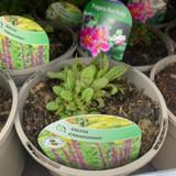 Salvia nemorosa Caradonna - 2ltr