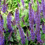 Salvia 'Viola Klose' - 2ltr