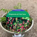 Sanguisorba 'Pink Tanna' 2ltr