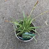 Carex oshimensis 'Evergold' (Grass) 2ltr