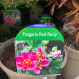Fragaria 'Red Ruby' 2ltr