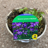 Geranium 'Mayflower' 2ltr
