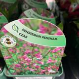 Penstemon pensham 'Czar' - 9cm