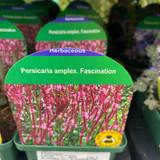 Persicaria amplex Fascination 9cm