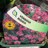 Verbena 'Rigida' - 9cm pot