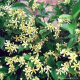 Trachelospermum 'Star of Toscane' (Star Jasmine) - 1.5ltr pot