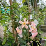 Trachelospermum jasminoides 'Star of Sicily' - 1.5ltr pot