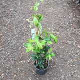 Trachelospermum jasminoides (Star Jasmine) - 1.5ltr pot